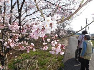 春のお散歩ではきれいな桜を観れます
